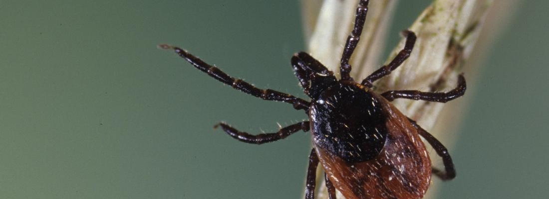 illustration Même piqué par une tique infectée, vous n'attraperez pas forcément la maladie de Lyme