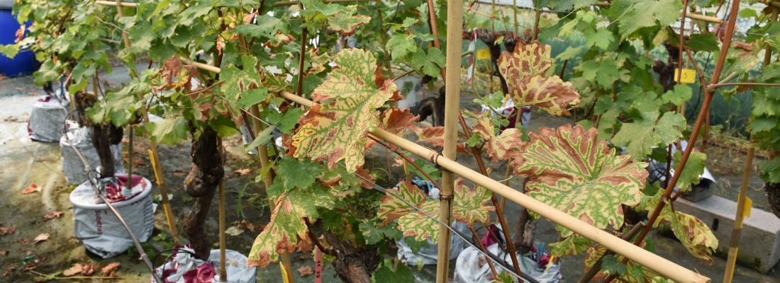 illustration Impact de l'esca sur les feuilles de vigne
