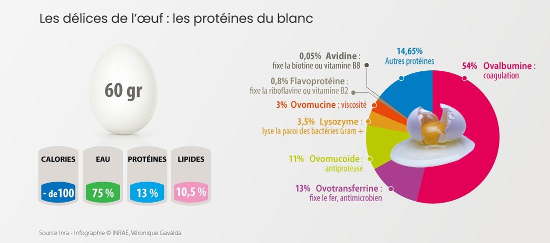 Infographie protéines de l'oeuf
