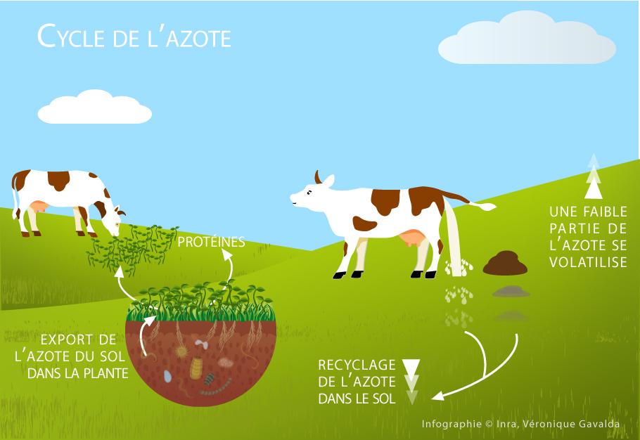 L'azote est exporté dans la plante, et est constitué de protéines qui sont mangées par la vache. Cette dernière le rejette en partie sous forme d'urine et de bouses, puis ça revient au sol et l'azote est recyclé. Une faible partie se volatilise.