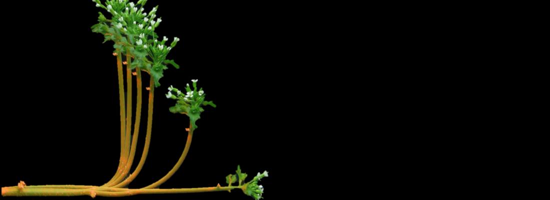 illustration Les plantes, sensibles à leur environnement et capables de s'y adapter en mouvements