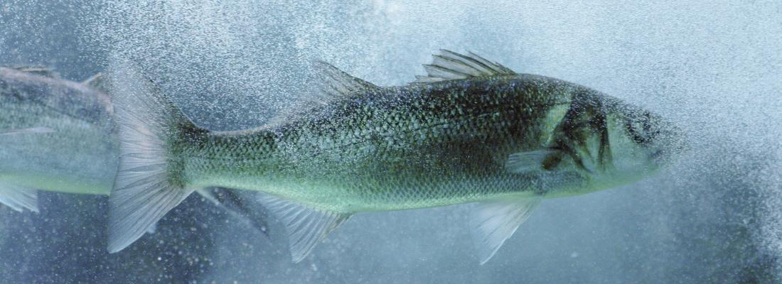 illustration Le bar, un poisson dont le sexe dépend de la température de l'eau … oui, mais dans quel sens ?