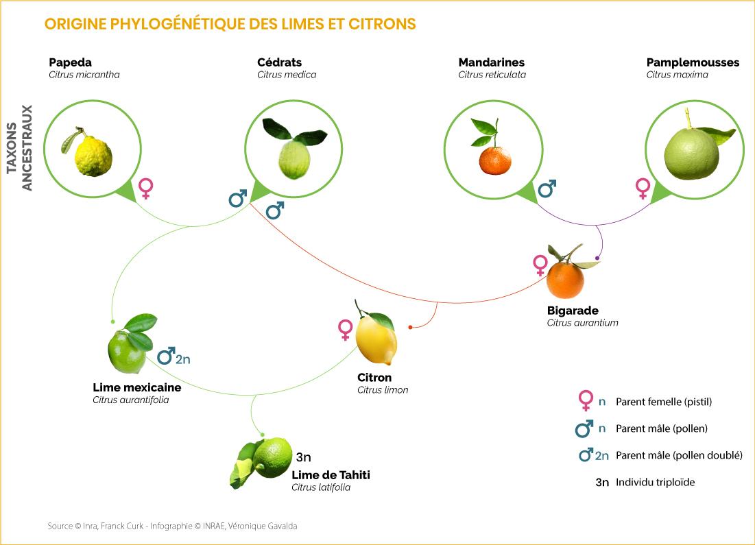 Origine phylogénétique des limes et citrons 2020