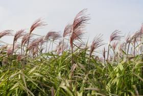 Miscanthus in culture and detail of the morphology of the plant