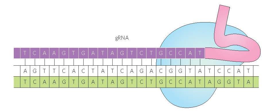 Nucléase de type Cas9-CRISPR
