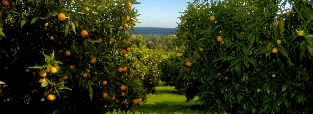 illustration Corsica: seeing the future in citrus