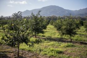 Verger composé d'une collection d'accessions d'agrumes de l'unité expérimentale Citrus de San Giuliano 20230.