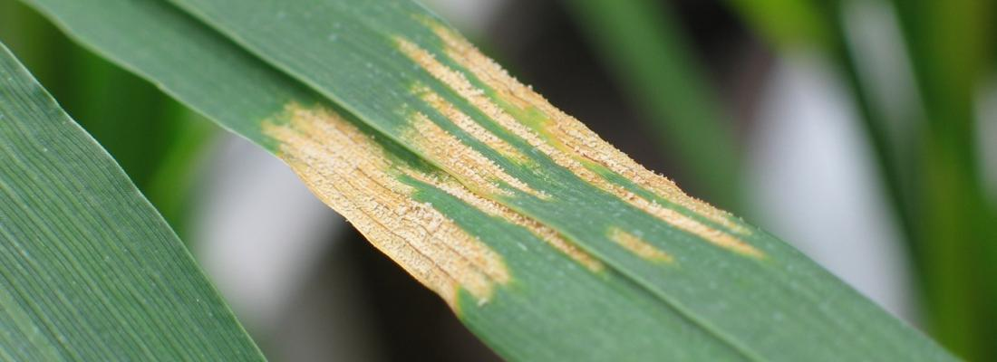 illustration First-ever cloning and characterization of a resistance gene against Septoria tritici blotch in wheat