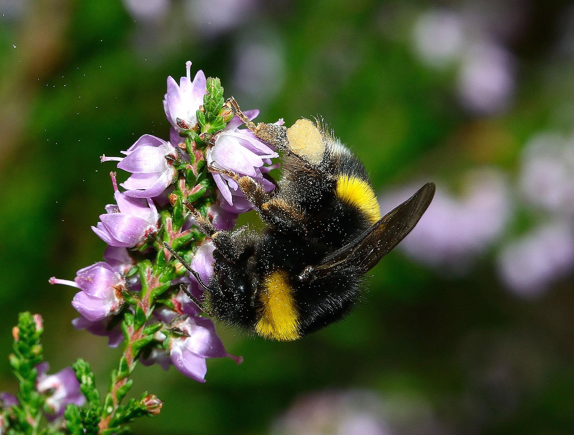 Abeille sauvage Bombus lucorum femelle butinant des fleurs mauves