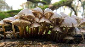 Champignon : mycène incliné, illustration pour l'interview du dossier Voyage au royaume des champignons.