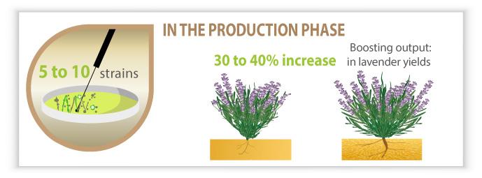Infography Mycophyto: production phase