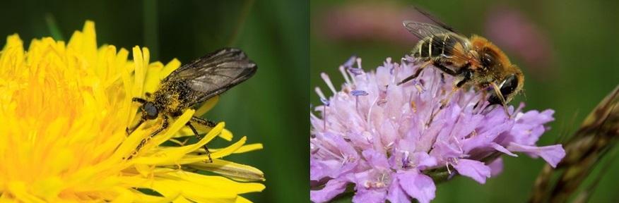 Photo de deux diptères de deux genres différents (Empis et Syrphe) sur des fleurs