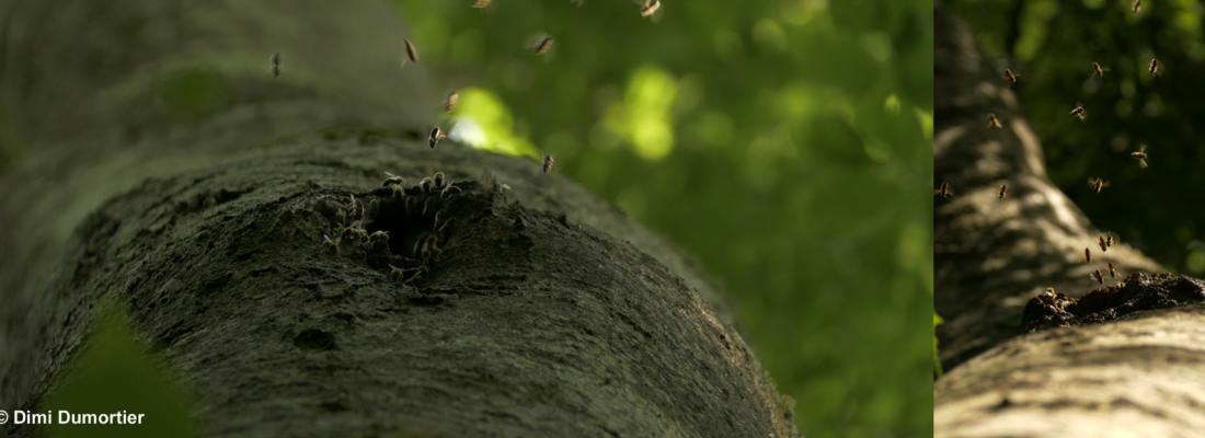 illustration Des cavités dans les arbres pour préserver les colonies d'abeilles sauvages