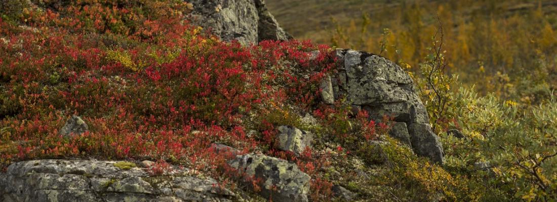 illustration Les racines augmentent les émissions de carbone du permafrost