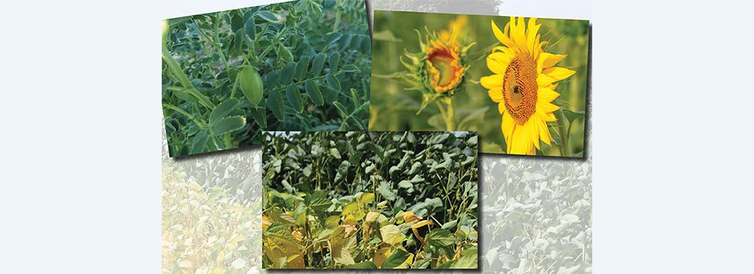 illustration Un partenariat pour une agriculture diversifiée valorisant les oléagineux et les légumineuses à graines