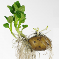 Lien vers l'infographie pomme de terre