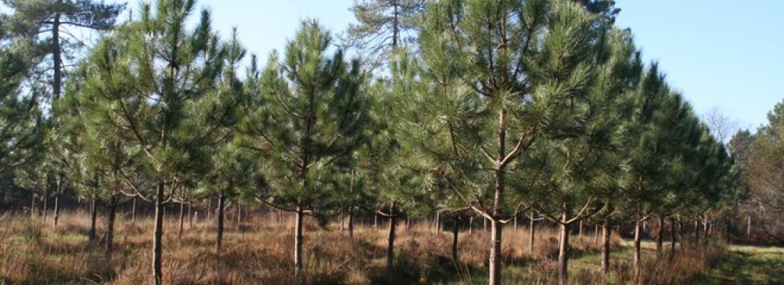 illustration La sélection génomique, une approche novatrice pour les arbres forestiers