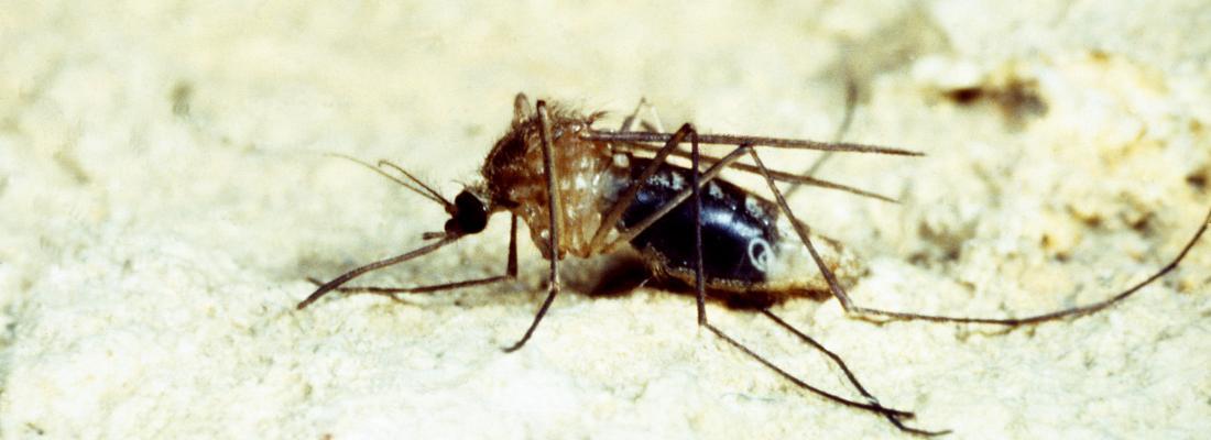 illustration Lutte contre les agents pathogènes transmis par les moustiques : découverte  d'un nouvel élément génétique mobile chez la bactérie Wolbachia