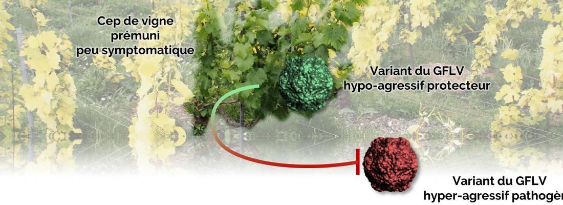 illustration La prémunition, une stratégie pour « vacciner » la vigne dans les parcelles contaminées par le court-noué