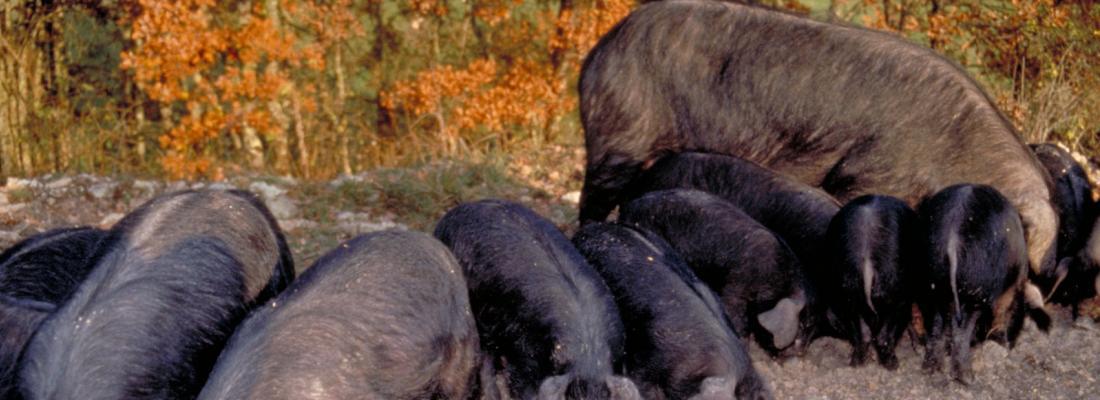 illustration Elevage de porcs en plein air avec des races locales : il faut adapter l'alimentation !