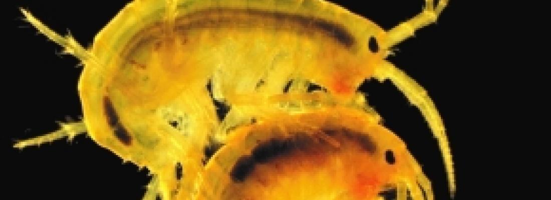 illustration Pollution aquatique : explorer la piste du lipidome chez les crustacés d'eau douce