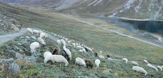 Moutons broutant dans une vallée alpine, avec en fond un point d'eau