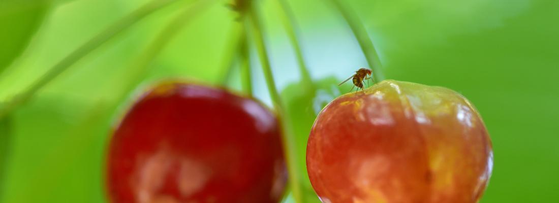 illustration La technique de l'insecte stérile au service des agroécosystèmes français