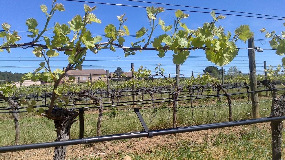 Irrigation au goutte à goutte sde la vigne à Pech Rouge