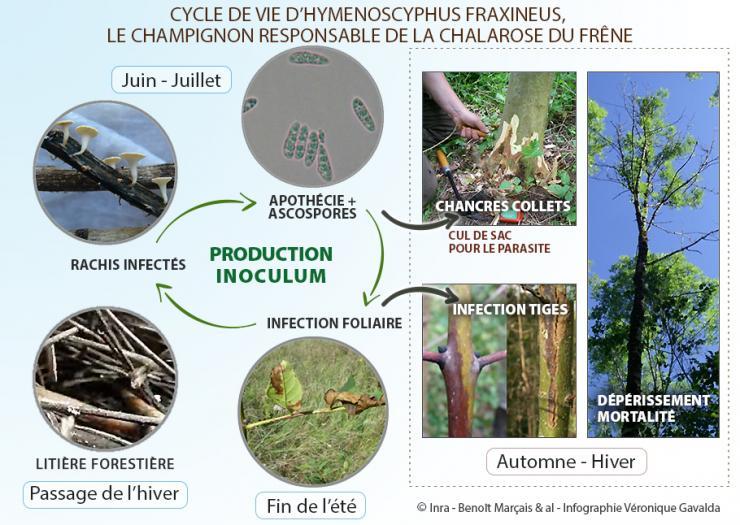 Cycle de vie d'Hymenoscyphus fraxineus, champignon responsable de la chalarose du frêne