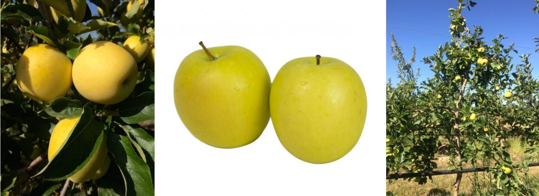 """illustration INOGO C.O.V., la nouvelle variété de pomme issue du programme de création variétale INRAE-NOVADI, a reçu le SIVAL d'Argent 2021 dans la catégorie """"Innovation variétale"""""""