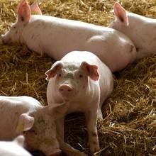 Cochons sur paille-220