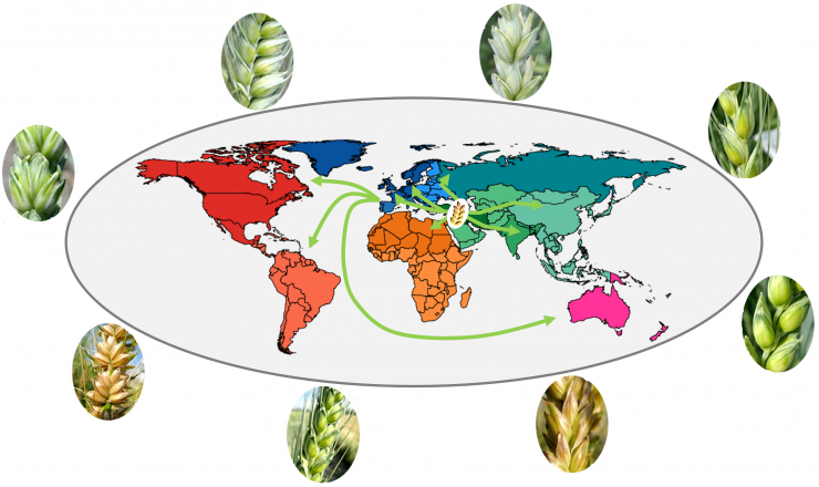 Illustration de l'origine du blé dans le Croissant Fertile et des voies d'expansions de l'agriculture depuis le Néolithique