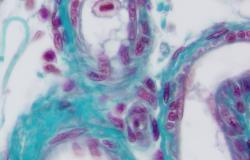 Artères de poisson en microscopie optique