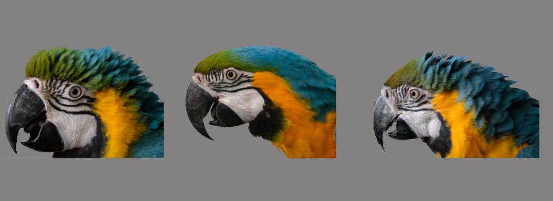 illustration Des perroquets qui rougissent : les expressions faciales démontrées pour la 1ère fois chez les oiseaux