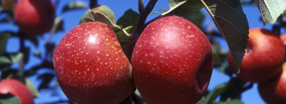 illustration Fil d'Ariane : créer de nouvelles variétés de pommes pour une agriculture durable