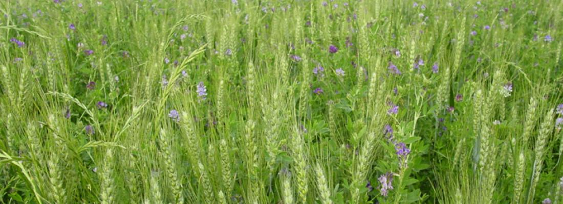 illustration Agriculture de conservation : la gestion des adventices est un point critique