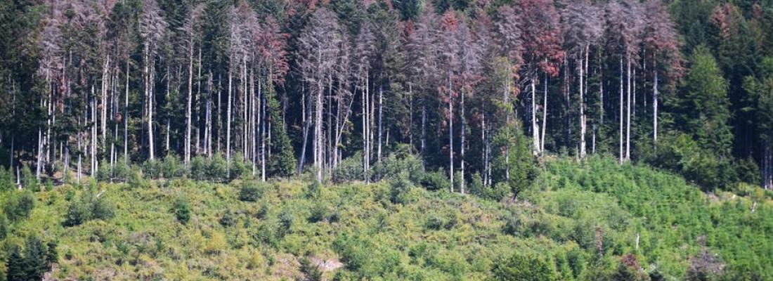 illustration Sécheresse : l'indispensable adaptation des forêts françaises