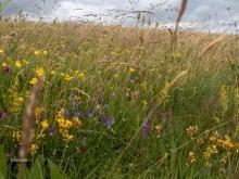 Biodiversité d'une prairie. Prairie naturelle de montagne d'Auvergne. ,Dans la nature, il existe une grande diversité de plantes sauvages. Les prairies permanentes peuvent associer jusqu'à 60 à 70 espèces différentes. Observer les prairies pour comprendre les interactions « plantes - herbivores - micro organismes » du sol dans la perspective d'une meilleure complémentarité entre maintien ou restauration de la qualité du milieu et renforcement de la qualité de l'alimentation des troupeaux dans des territoire