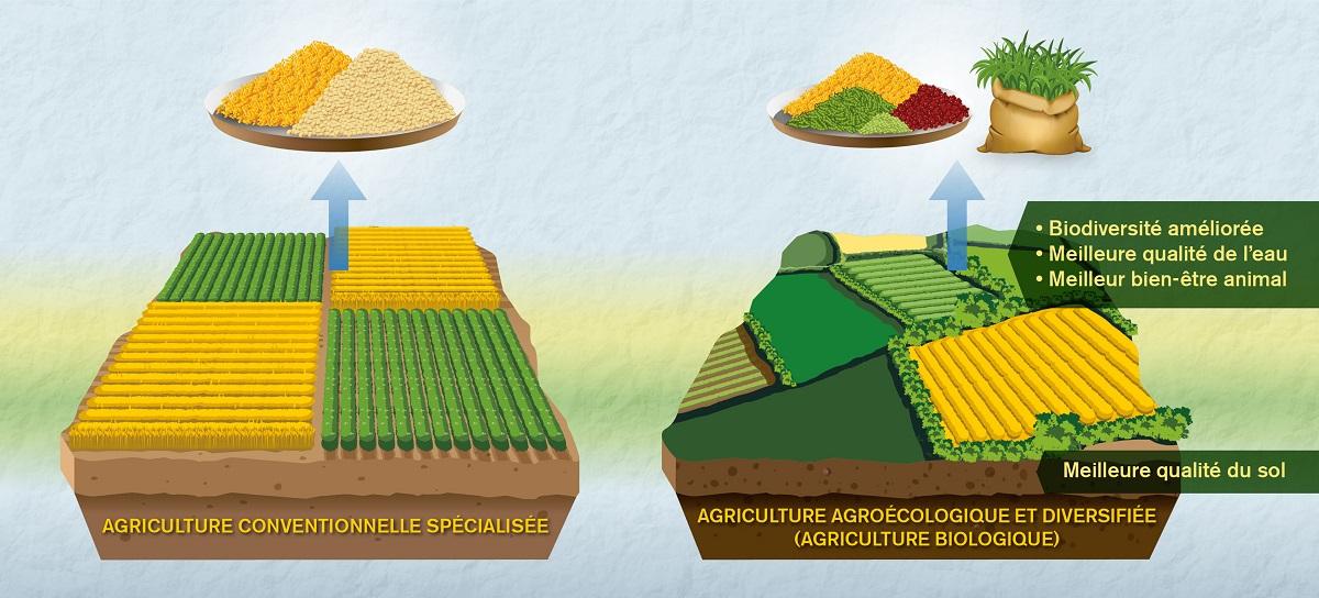 Scéma montrant les différences entre agriculture conventionnelle spécialisée et agriculture biologique