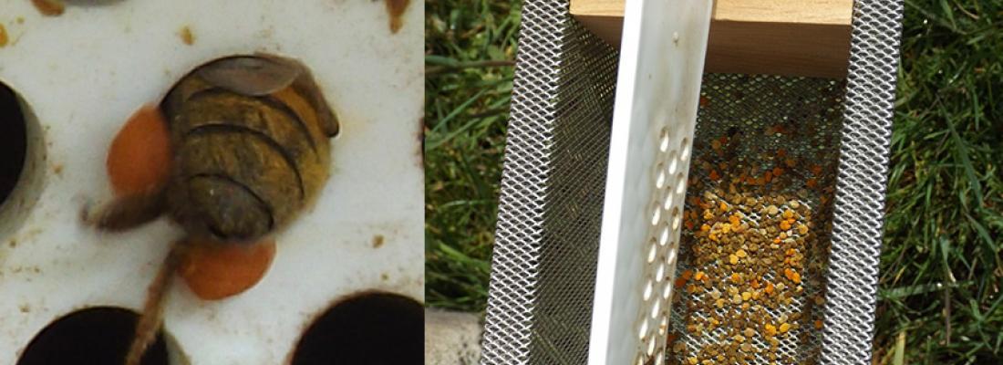 illustration Quelles sont les plantes butinées par les abeilles domestiques pour leur récolte de pollen ?
