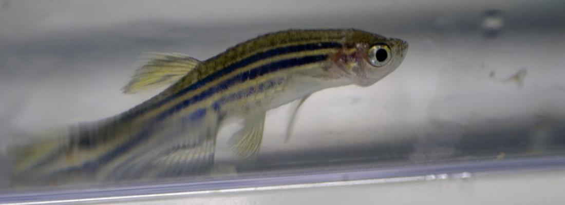 illustration Les polluants organiques persistants (PCB, PBDE) ont des effets délétères multiples qui se transmettent sur plusieurs générations chez le poisson-zèbre