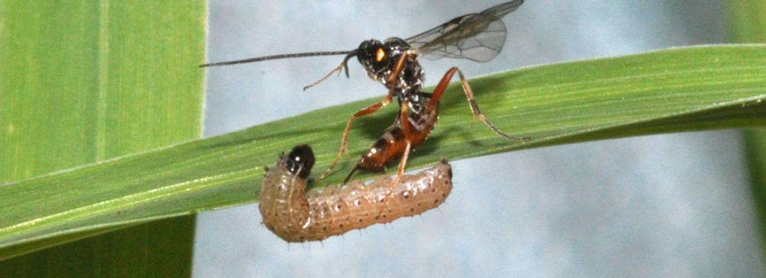 illustration Le séquençage de deux guêpes parasitoïdes éclaire l'évolution des ichnovirus, leurs compagnons d'armes